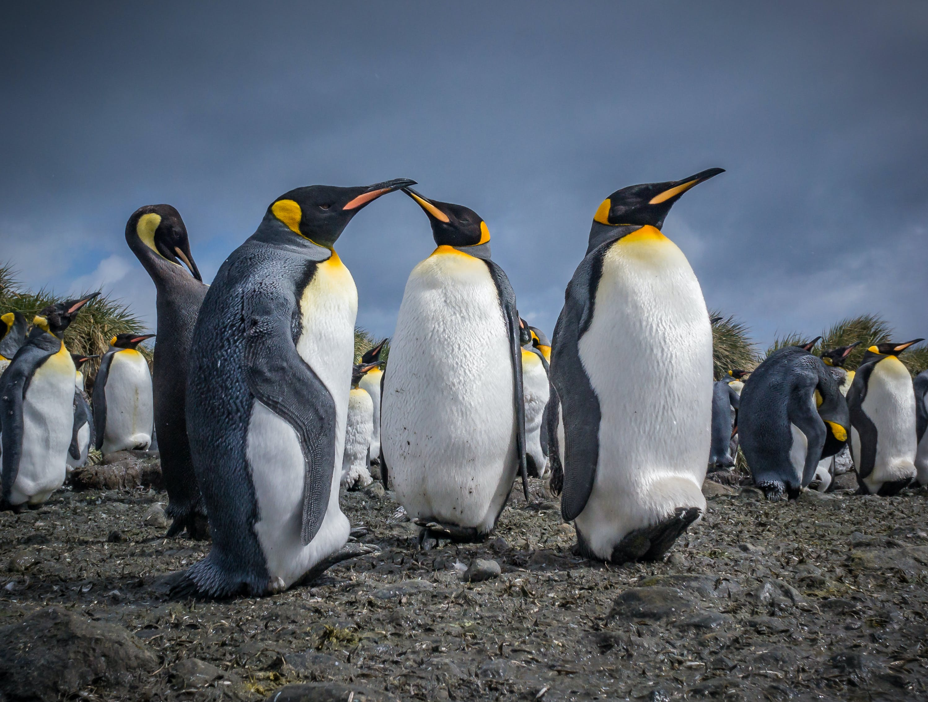 The famous Emperor Penguins of Antarctica are truly a sight to behold.